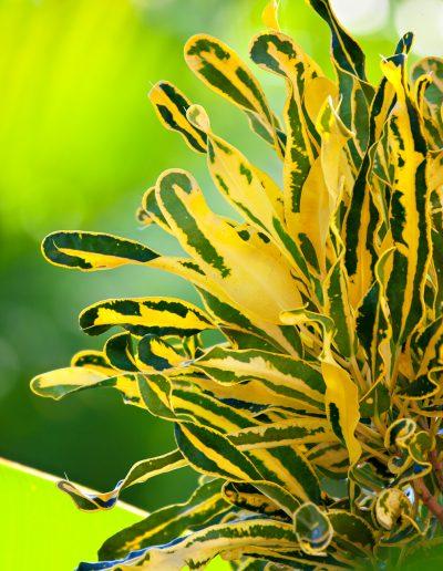 Bali, Indonesien, Strauch, Pflanze, Blume, Grün