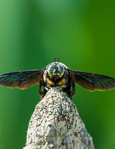 Käfer, Fliege, Stein, Bali, Indonesien