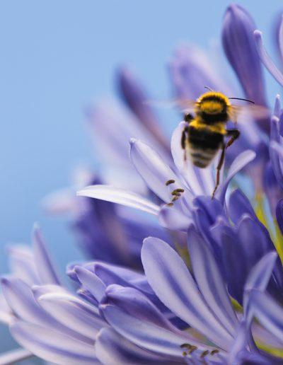 Biene, Hummel, Wespe, Blume, Lila, Blüte, Fliegen