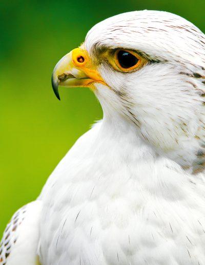 Falke, Falknerei, Weiß, Schnabel, Vogel