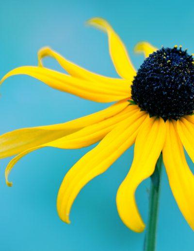 Blume, Gelb, Blau, Blüte, Blütenstaub