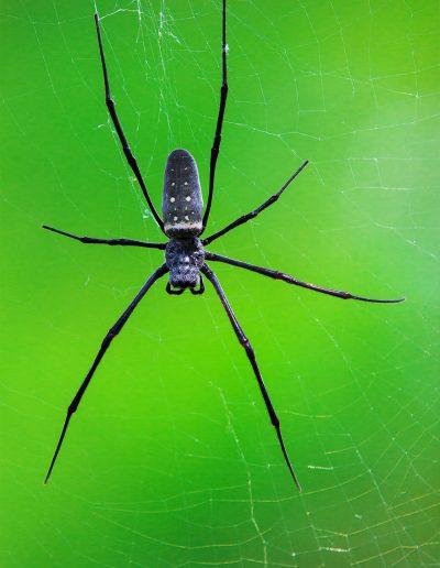 Spinne, Bali, Indonesien, Schwarz, Grün, Spinnennetz